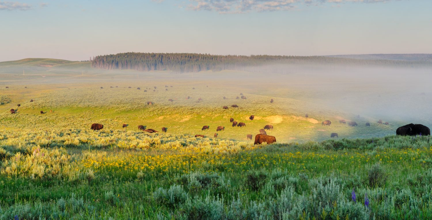 Bisons grazing on a very beautiful morning, around sunrise, in Hayden Valley, Yellowstone National Park.
