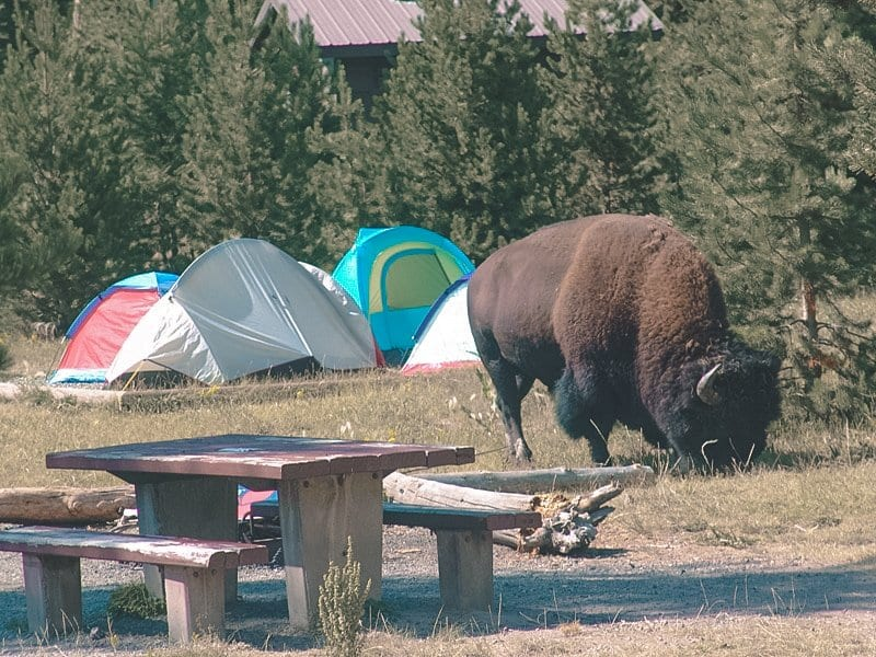 Bison at Canyon Campground Yellowstone