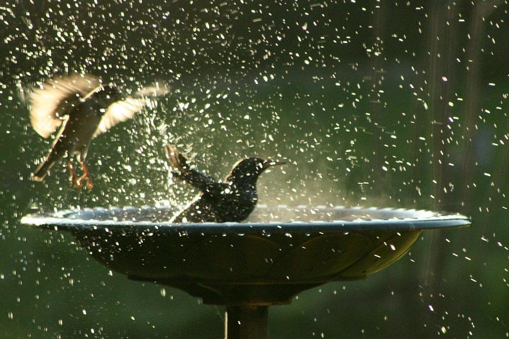 Birds splashing in a birdbath